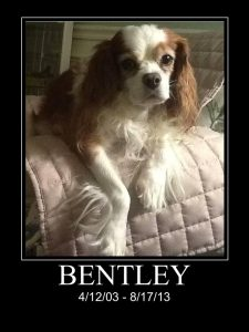 Bentley was a Cavalier King Charles Spaniel who lived from 4/12/03 to 8/17/13