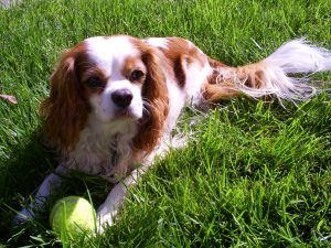 Bentley, a Cavalier King Charles Spaniel, relaxes in the grass with his tennis ball.