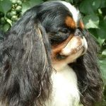 An English Toy Spaniel from thedogencyclopedia.com