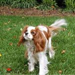 Bentley, a Blenheim Cavalier King Charles Spaniel