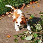 Bentley, a Cavalier King Charles Spaniel