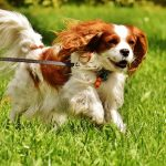 How to avoid fleas on dogs like this Blenheim Cavalier King Charles Spaniel
