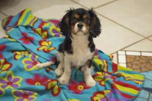 A tricolor Cavalier King Charles Spaniel puppy