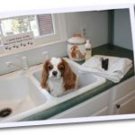Bentley, a Cavalier King Charles Spaniel, getting ready for a bath at home.