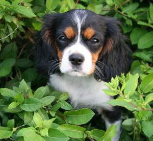 Dando is a beautifully groomed tricolor Cavalier King Charles Spaniel.