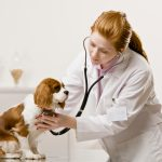 A Veterinary Technician examines a Cavalier King Charles Spaniel
