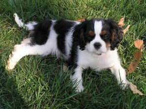 Barley is a tricolor Cavalier King Charles Spaniel.