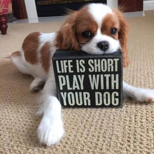 "Cute Cavalier Spaniel holding a sign says ""Life is short, Play with your dog"""