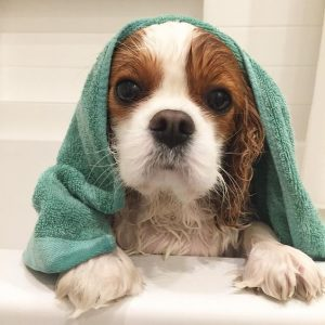 Image of a Cavalier wrapped in a bath towel