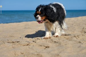Tricolor Cavalier King Charles Spaniel risks heat stroke on the beach