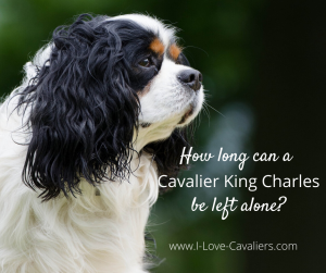 How long can a Cavalier King Charles Spaniel be left alone?